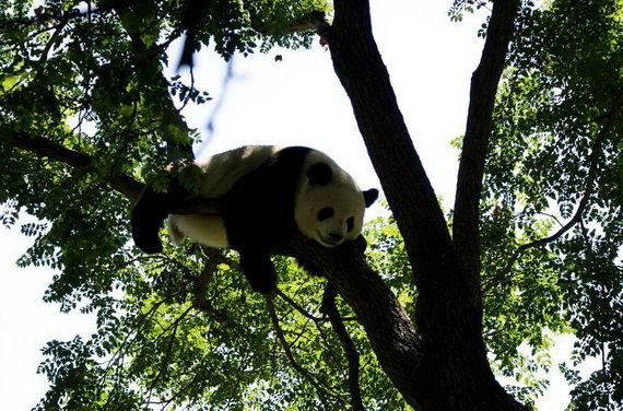 панда 8